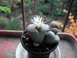 リトプスの花